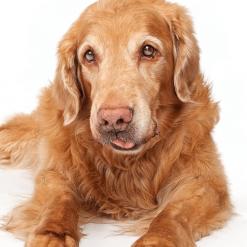 สุนัขสูงวัย