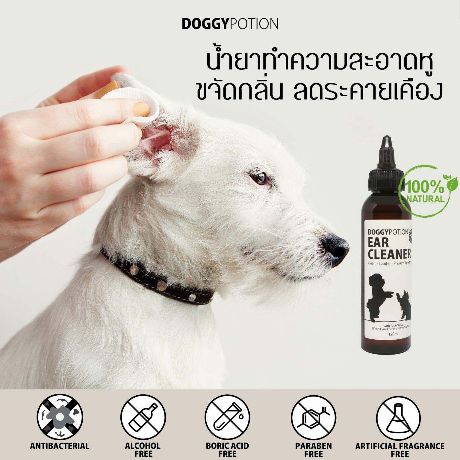 DogJackRussellTerrierHavingEarExaminationAtVeterinaryClinic  